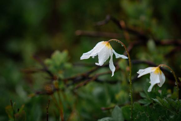 Mount Rainier Wildflower. Avalanche Lily